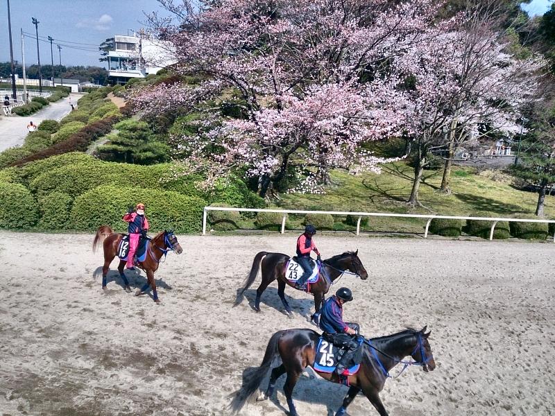 栗東も桜が見ごろを迎えそうです