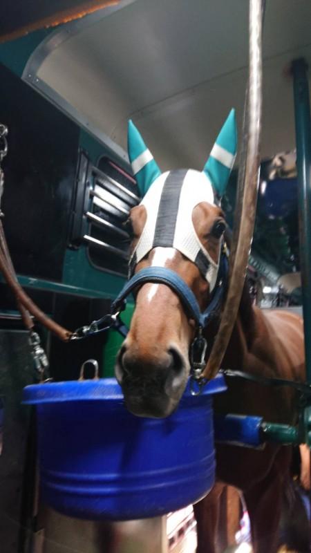 福島輸送中。馬運車でのギルマ